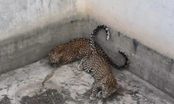 В Индии спасли двух леопардов, попавших в бетонный резервуар